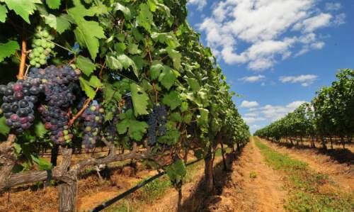 Pontos Turísticos em Petrolina - uva são francisco